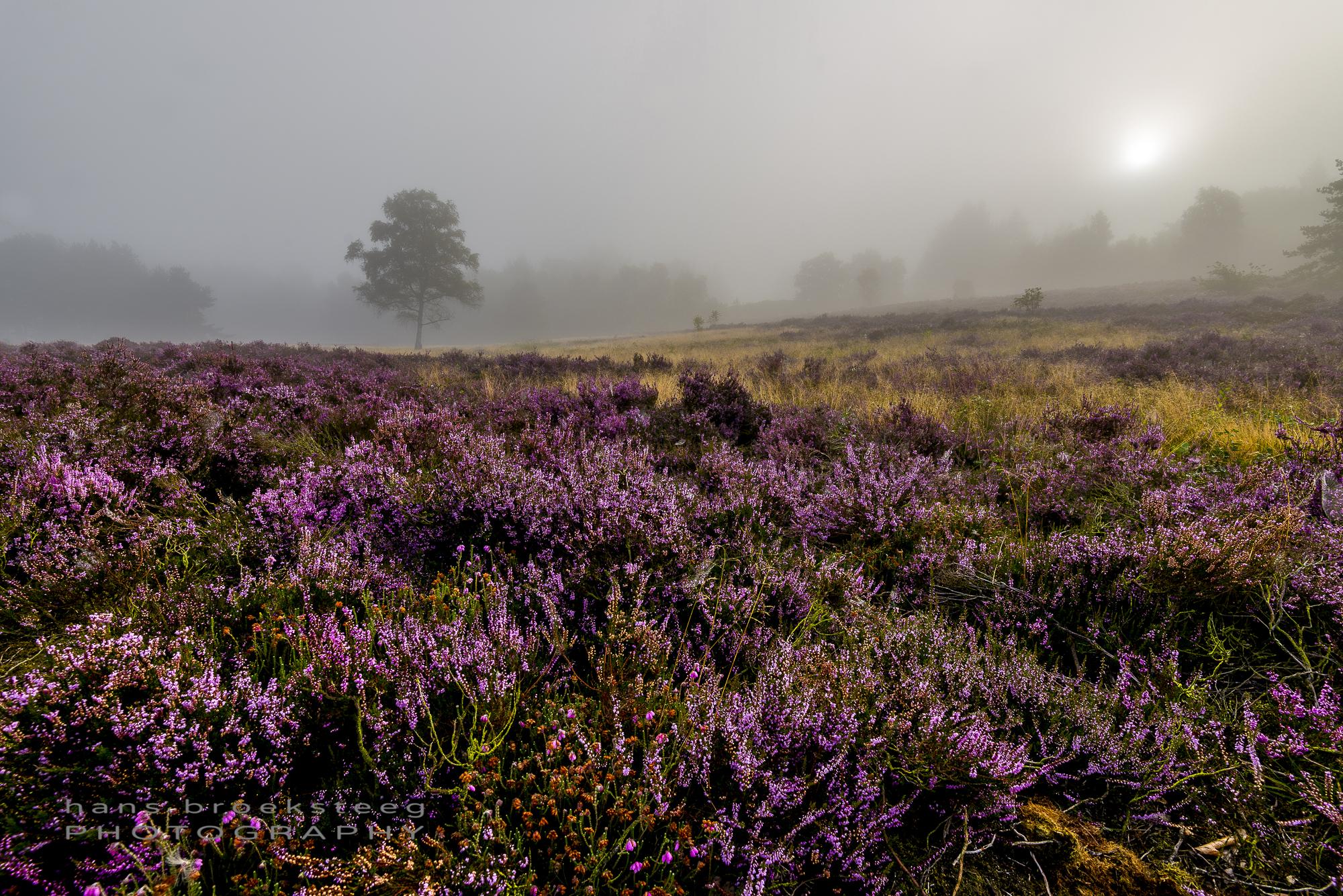 Bloming heather on a misty morning in Schaarsbergen, NL