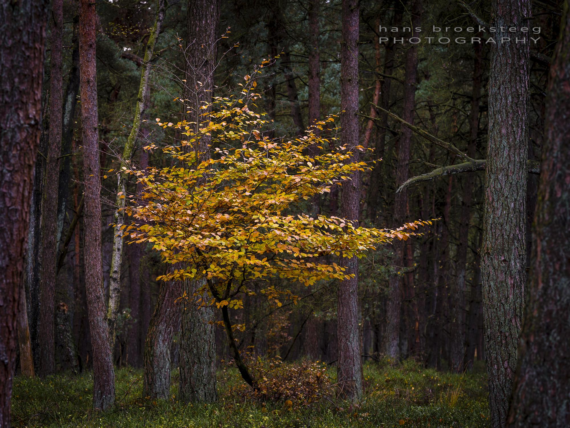 Autumn beech tree in NP Veluwezoom, NL