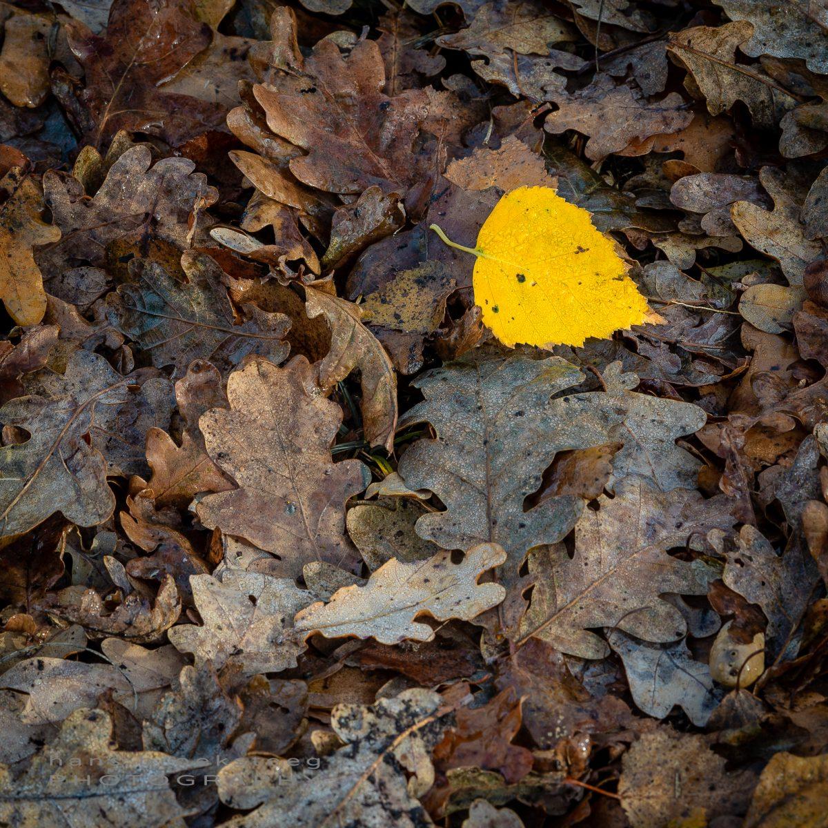 Yellow birch leave amongst brown oak leaves