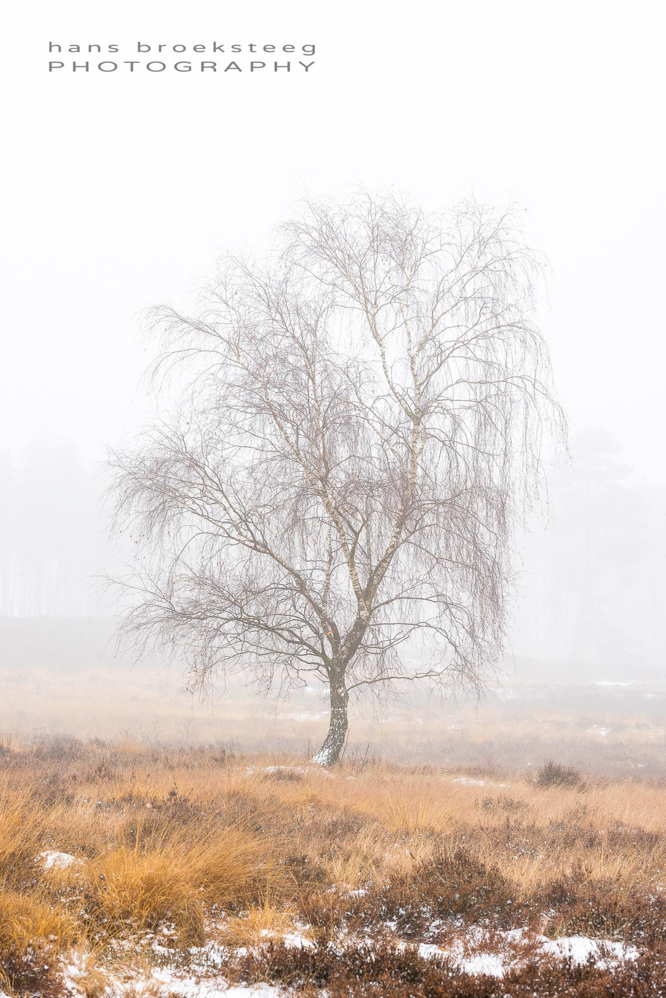 Winter scene of a lone birch tree in misty conditions