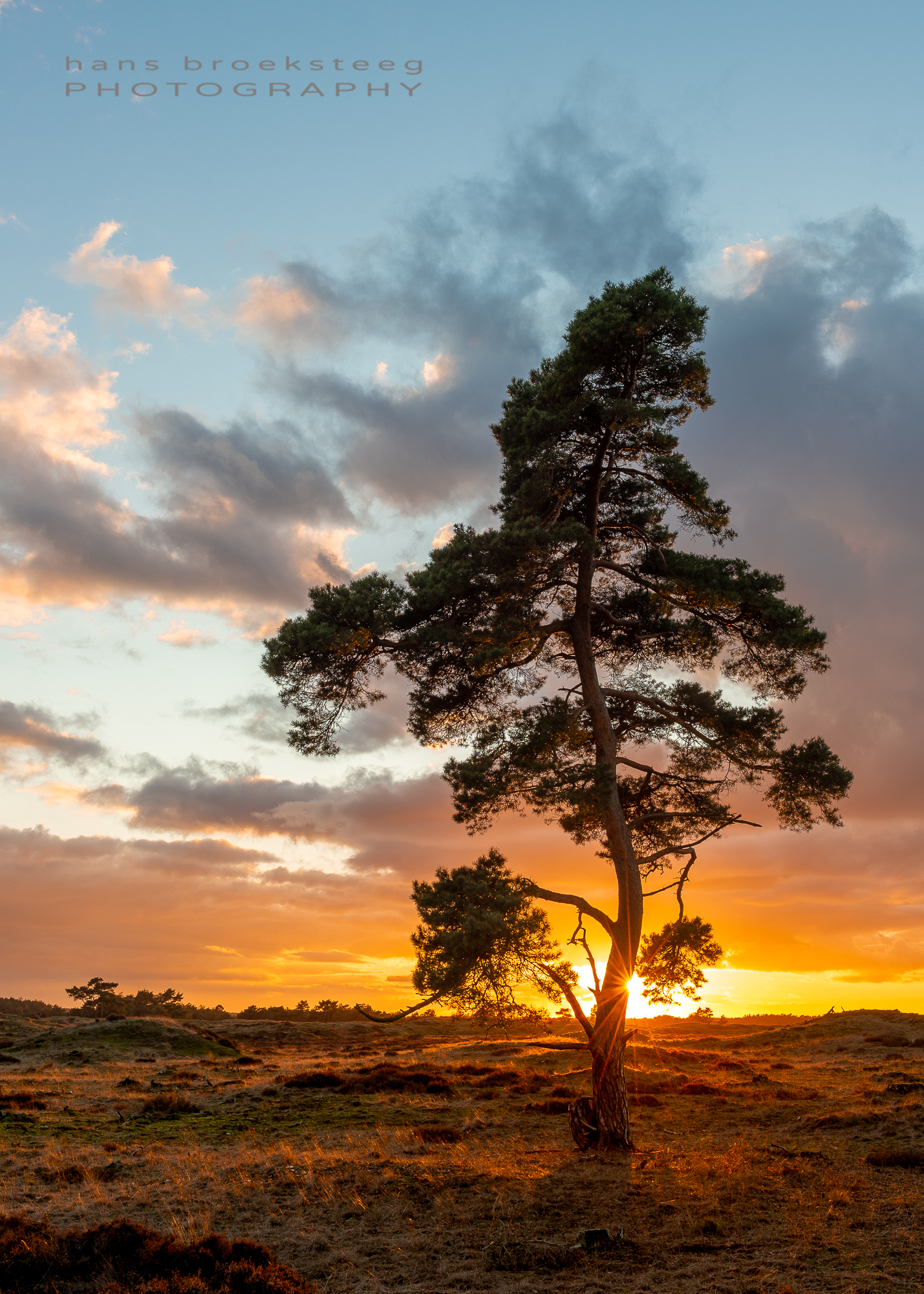 Lone pine tree at sunset in the Netherlands