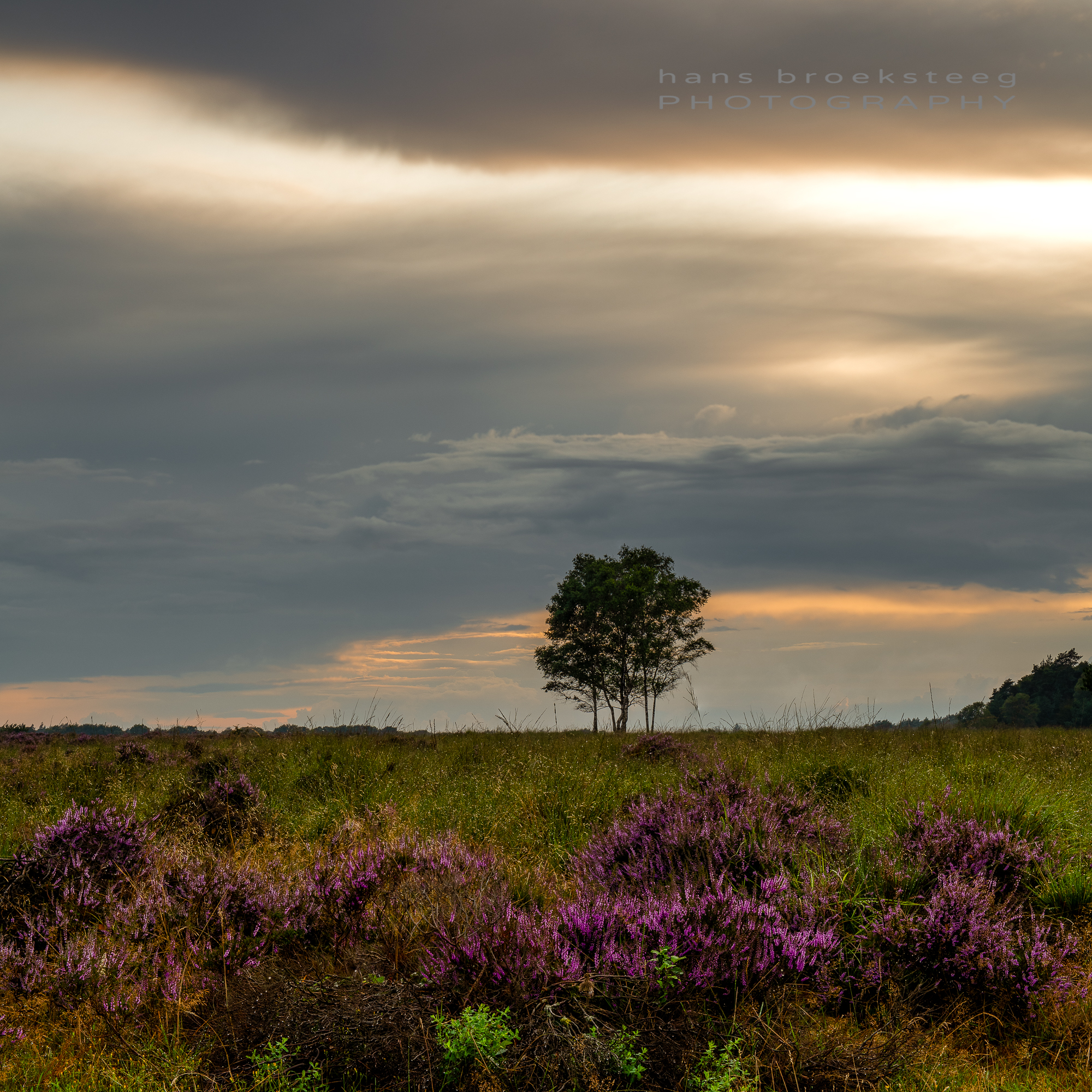 Blooming heather at sunset
