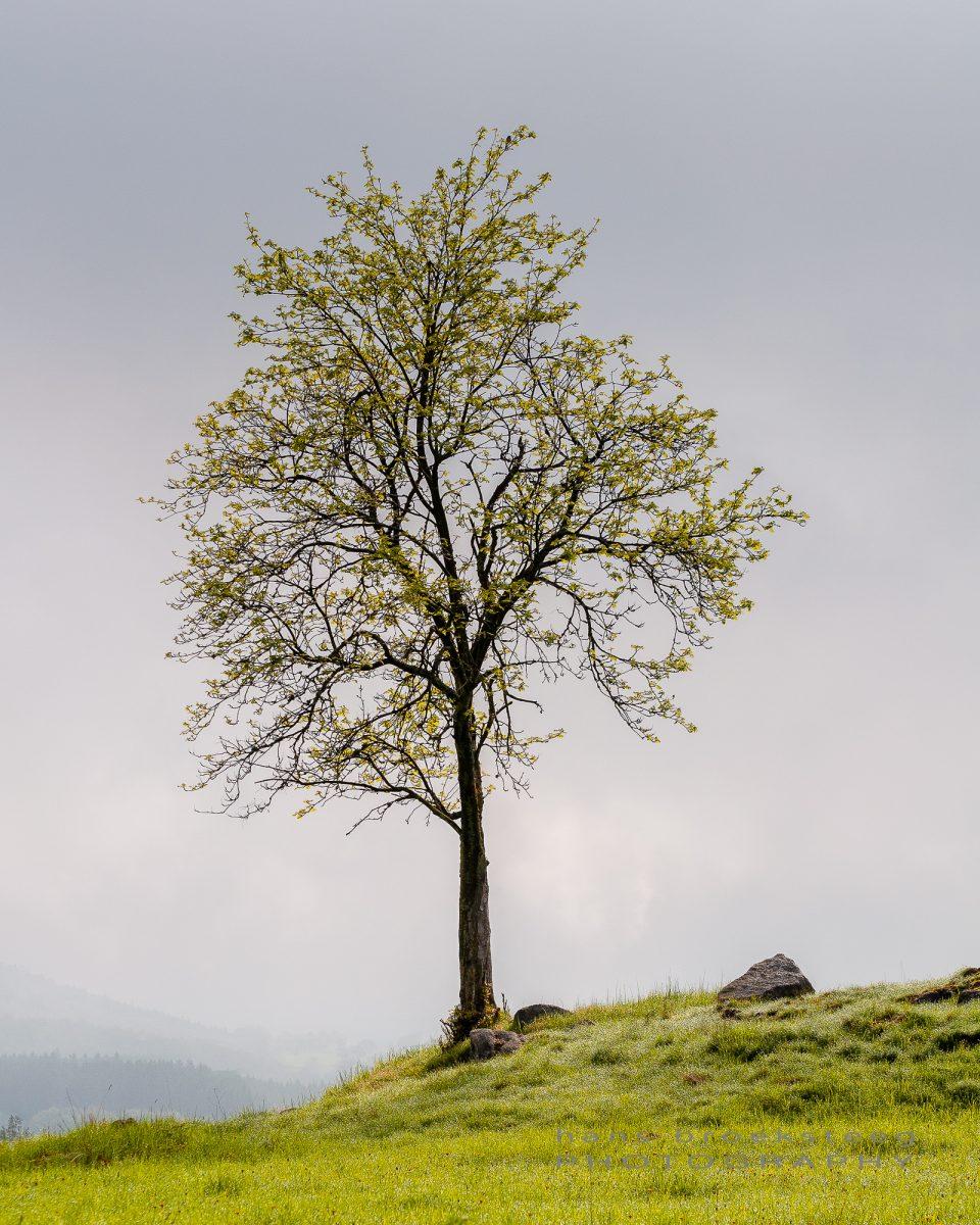 Lone tree in West Bohemian landscape, Czech Republic